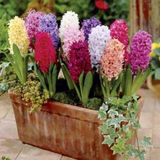 Hyacinth Flower Bulb Mix