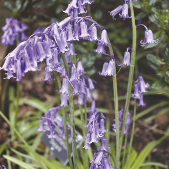 English Bluebell Flower Bulbs
