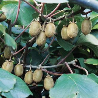Dwarf Kiwi Jenny 2ltr potted plant