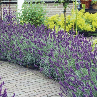 Lavender angustifolia Hidcote Flower Plants