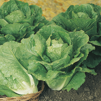 Lettuce Winter Density Plants