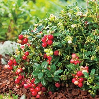 Lingonberry Fruit Plant