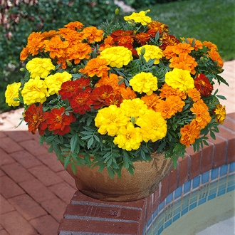 Marigold Durango Mixed F1 Flower Plants