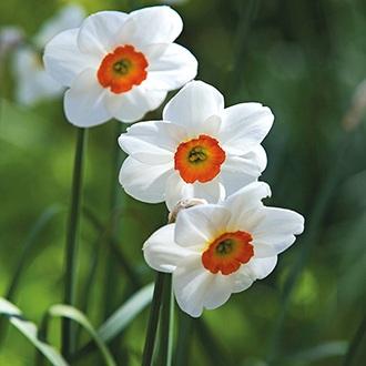 Narcissus Geranium Bulbs