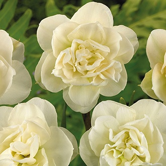 Narcissus Rose of May