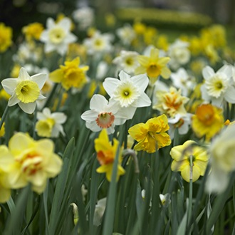 Narcissus Mixed Colours Flower Bulb Collection
