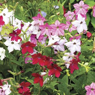 Nicotiana Perfume F1 Mixed Plug Plants