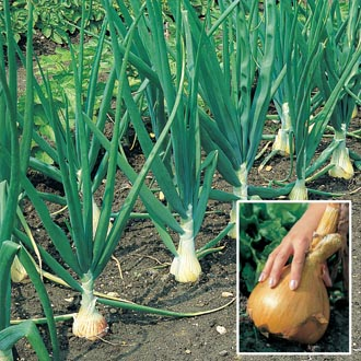 The Kelsae Onion Plants