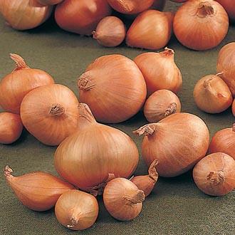 Heat Treated Hytech Onion Sets