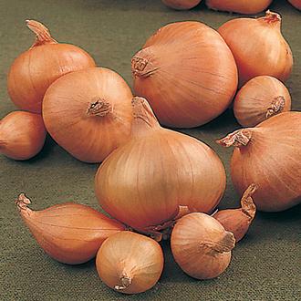 Arthur F1 Onion Plants