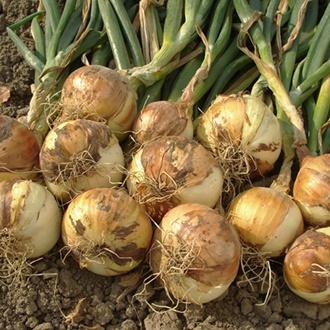Shakespeare Onion Sets