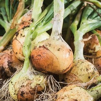 Onion Element Veg Plants