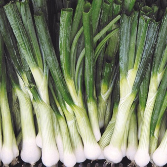 Starlight Spring Onion Plants