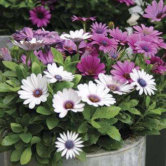 Osteospermum Akila Berries and Cream Flower Plants
