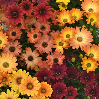 Osteospermum Akila Sunset Shades F1 Plug Plants
