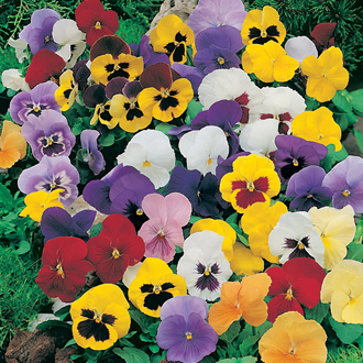 Pansy Winter Flowering F1 Mixed Plants