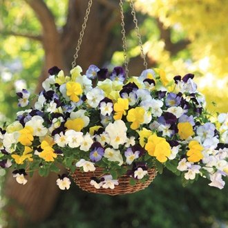 Pansy Cool Wave Mixed F1 Flower Plants