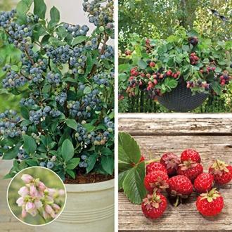 Patio Fruit Collection fruit plants