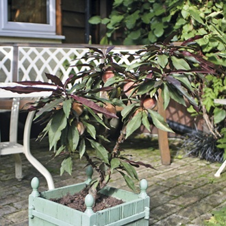 Patio Peach Crimson Bonfire fruit tree