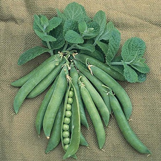 Pea Hurst Greenshaft (Maincrop) Plants