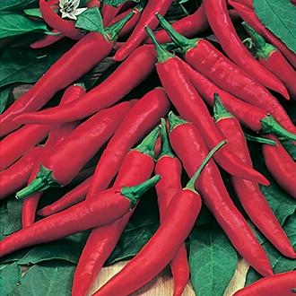 Chilli Pepper De Cayenne Plants