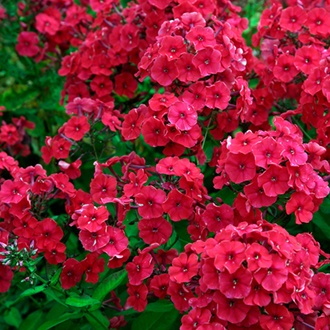 Phlox paniculata Red Riding Hood Potted Flower Plant