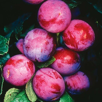 Plum Opal fruit tree
