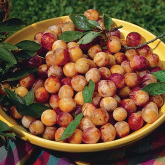 Plum Mirabelle de Nancy fruit tree