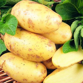 Potato Charlotte (Second Early Seed Potato) AGM