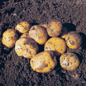 Potato Maris Peer - Second Cropping