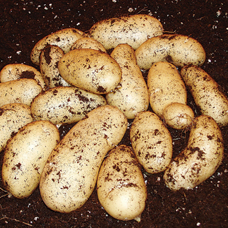 Potato Belle de Fontenay (Maincrop Seed Potato)