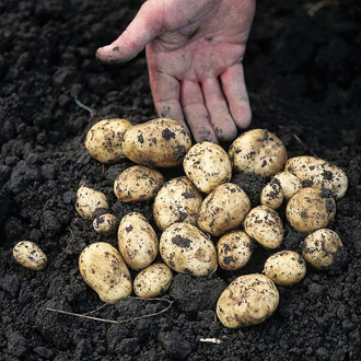 Potato Carlingford - Second Cropping