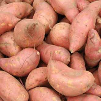 Sweet Potato Beauregard Young Plants