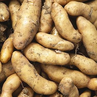 Potato Ratte AGM (Maincrop Seed Potato)
