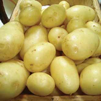 Potato Winston (Maincrop Seed Potato)
