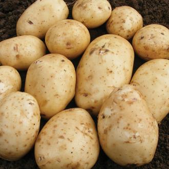 Potato Abbot (Extra Early Seed Potato)