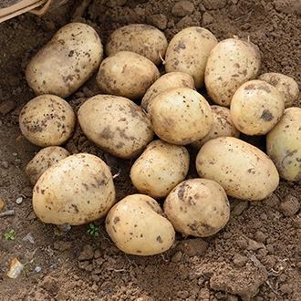 Potato Casablanca (Extra Early Seed Potato)