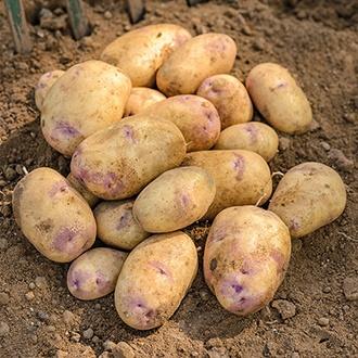 Potato Kestrel (Second Early Seed Potato)