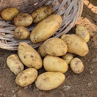 Potato Nicola - Second Cropping