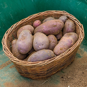 Potato Sarpo Blue Danube (Early Maincrop Seed Potato)