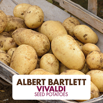 Potato Vivaldi AGM (Second Early Seed Potato)