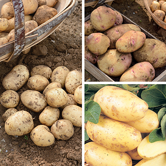 Customer Favourites Seed Potato Collection