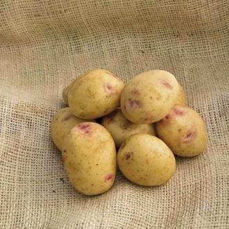 Potato Sorrento (Maincrop Seed Potato)