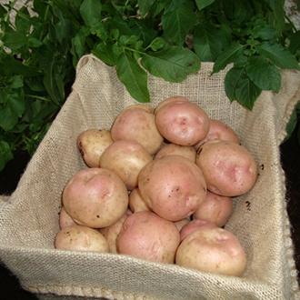 Kerr's Pink (Maincrop Seed Potatoes)