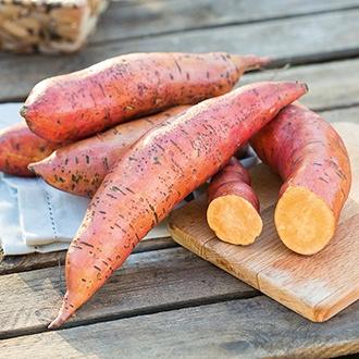 Sweet Potato Erato Orange Plants