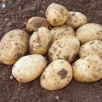 Potato Melody (Maincrop Seed Potato)