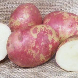 Potato Red King Edward (Maincop)