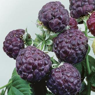 Raspberry Glen Coe Fruit Plant (Floricane)