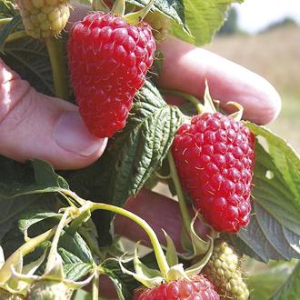 Raspberry Autumn Treasure Fruit Canes (Primocane)