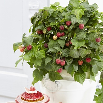 Raspberry Yummy Fruit Plant